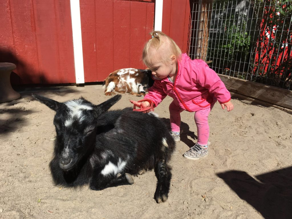 Photo of a toddler brushing a goat
